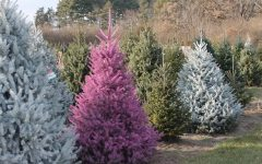 December 8: Battle of the Christmas tree farms