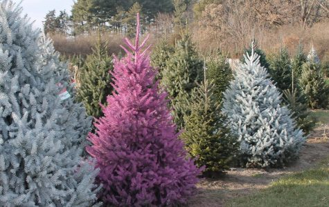 Lee's Trees offer colored trees as well as regular Christmas trees.